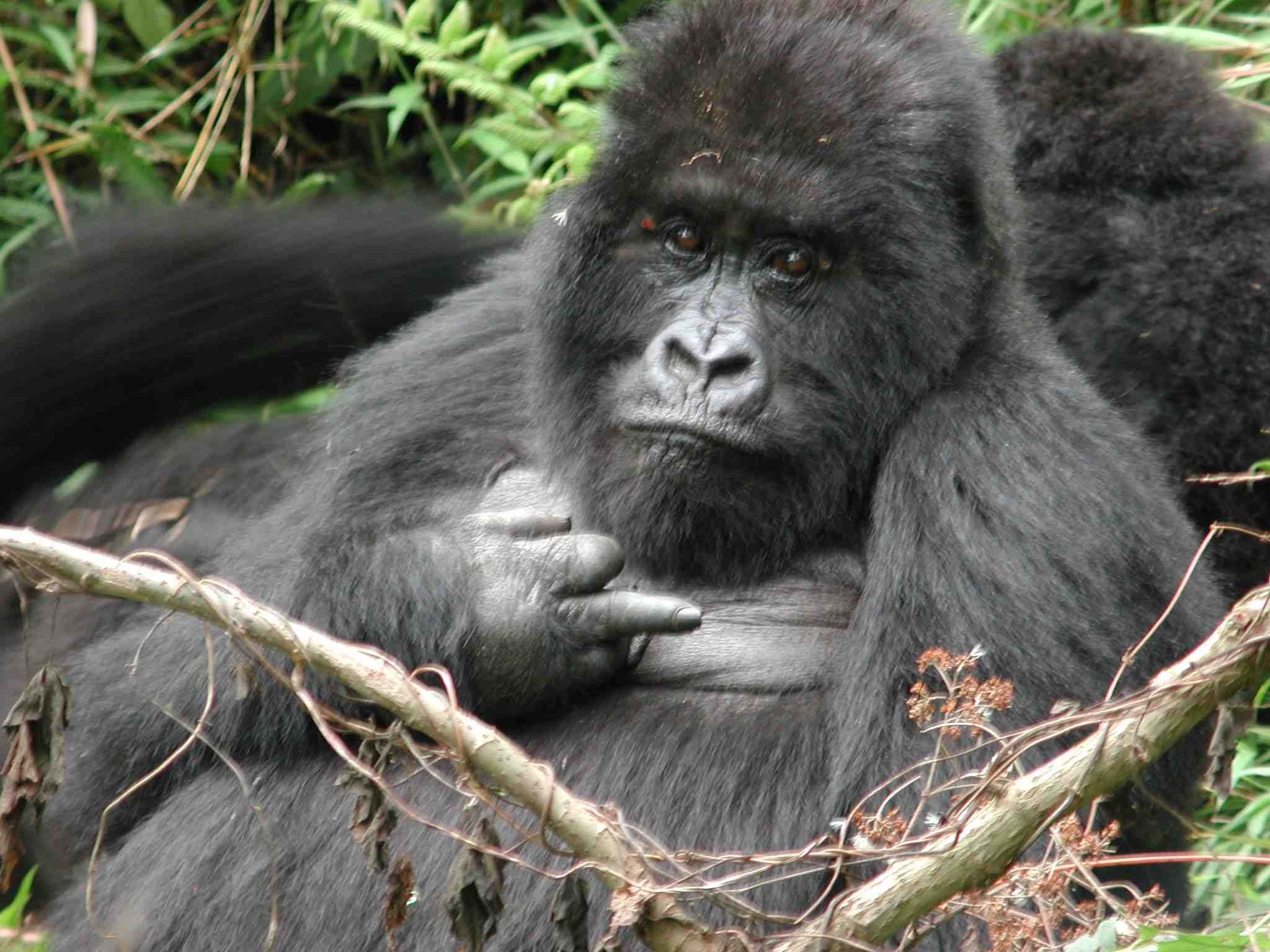 African mountain animals -  Ago I Posted A Positive Story About Gorillas Winning The Poaching Battle Here Is More Good News The Mountain Gorilla Posted In African Animals