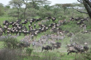 A typical view of the Wildebeest migration