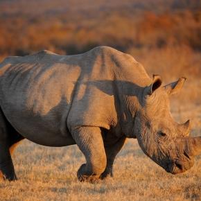 Saving Wild Rhinos