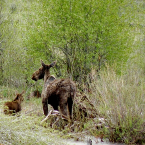 Moose with baby