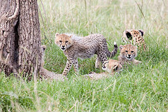Cheetah Cubs get Cheetah Hunting lessons from Mom