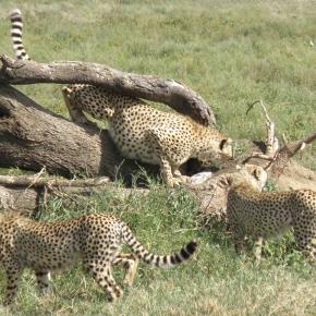 cheetah before hunt