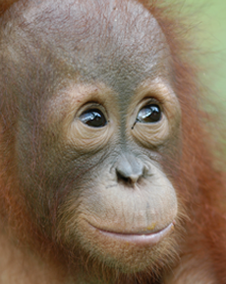 The Orangutan has been the biggest loser from Palm Oil Plantations.