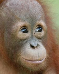 Baby Orangutan orphan