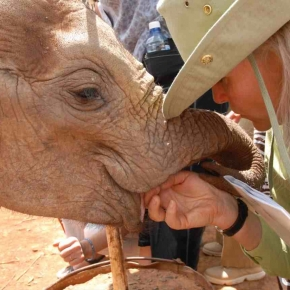 Daphne Sheldrick if famous for her success with orphaned ellie releases back to the wild
