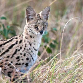 Serval Cat @Billy Dodson AWF