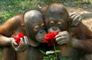 orangutans for SavingWild.com