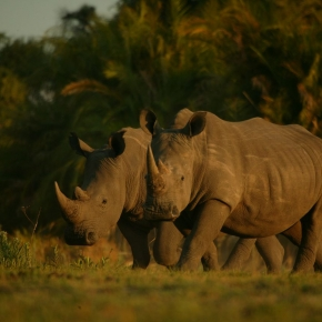 Trade in Rhino Horn on the Decline