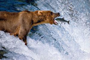 Mangelsen bear