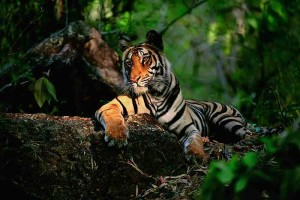 Saving Wild tiger