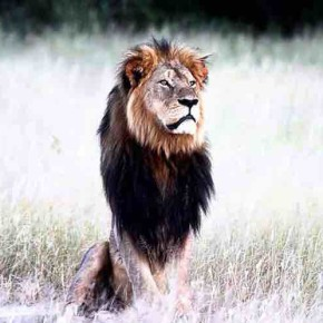 African Lions are in Trouble