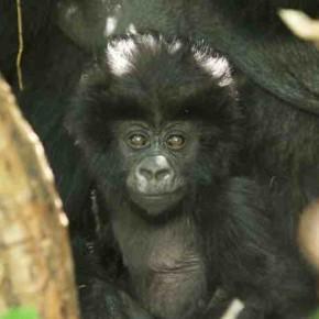 Rwanda's 'Kwita Izina' Saves Baby Gorillas