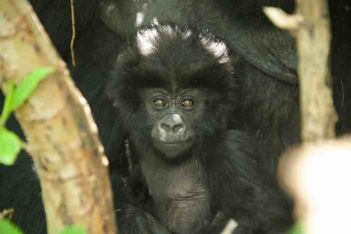 Baby gorilla to be named at Kwita Izina ceremony 2015.