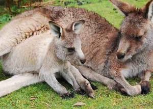 kangaroo-sm