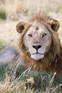 Lion photo for SavingWIld.com