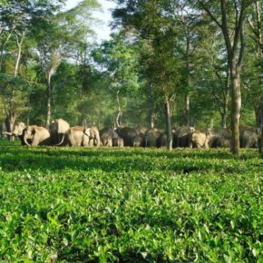 Asian Elephants and the Man who is Saving Them