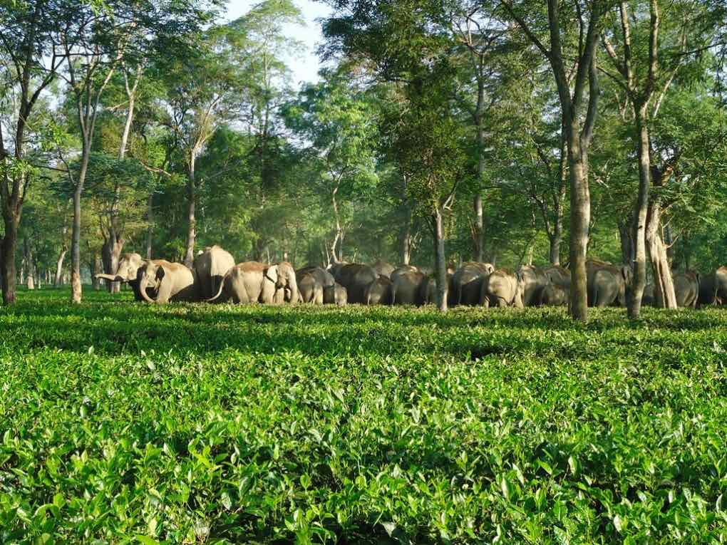 Asian Elephant Human conflict in India for SavingWild.com