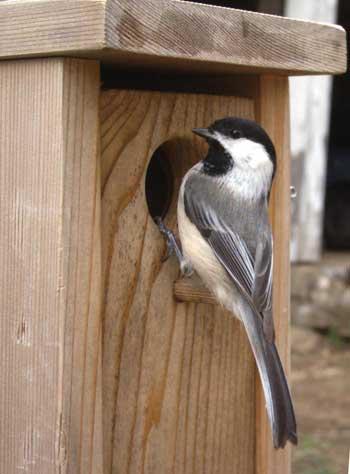 Black-Capped Chickadee with Bird box