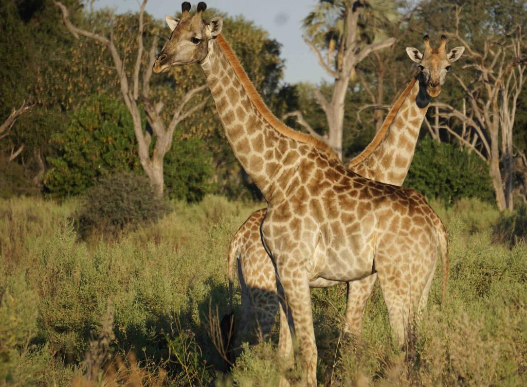 Giraffe in Botswana's Delta
